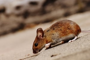 Mouse extermination, Pest Control in Bushey, Bushey Heath, WD23. Call Now 020 8166 9746